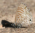 tiny butterfly - Leptotes marina