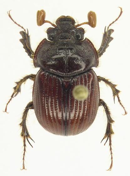 Eucanthus lazarus - female