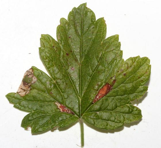 Gooseberry blotch miners - Caloptilia undescribed-ribes