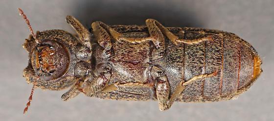 Bostrichid - Lichenophanes bicornis