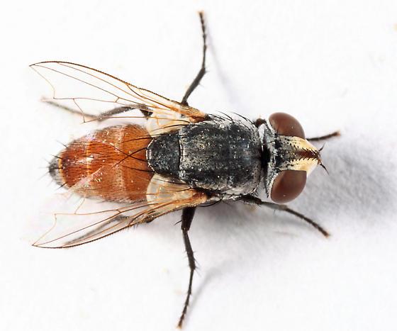Tachinid? - Senotainia vigilans - female