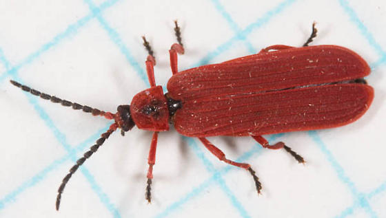 First of Season Dictyoptera - Dictyoptera simplicipes