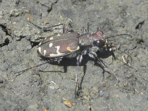 Cicindela duodecimguttata - female