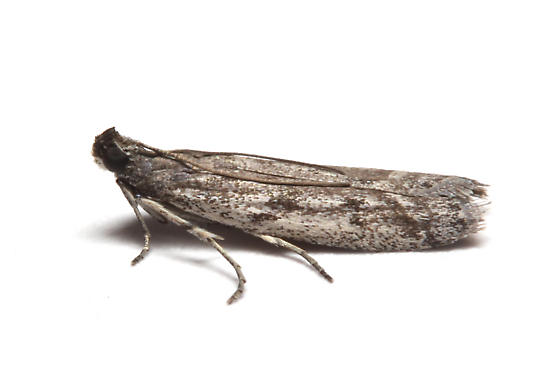 Pyralidae, in the house, lateral - Phycitodes reliquellum