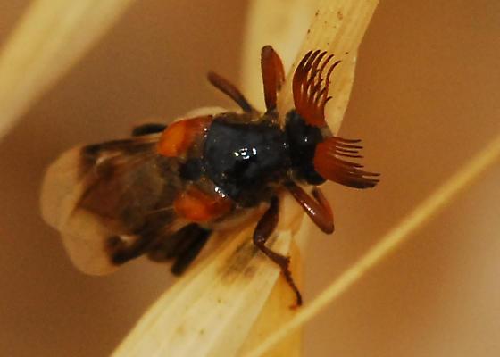Wedge-shaped beetle - Ripiphorus diadasiae - male