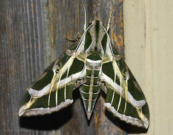 Moth - Eumorpha vitis