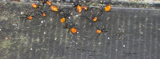 red bodied spiders black legs head - Arilus cristatus