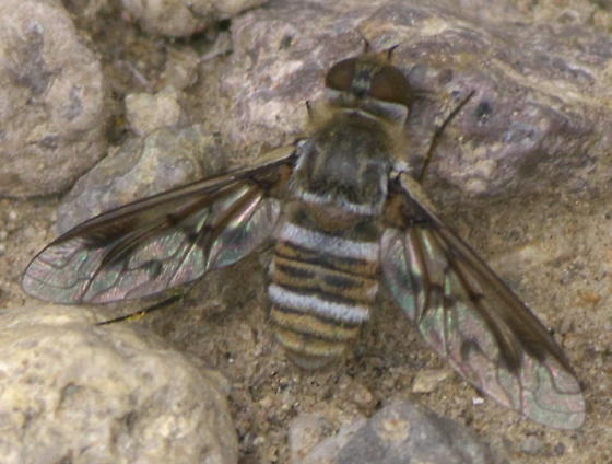 Bee fly with stripes and a patterned wing - Exoprosopa doris