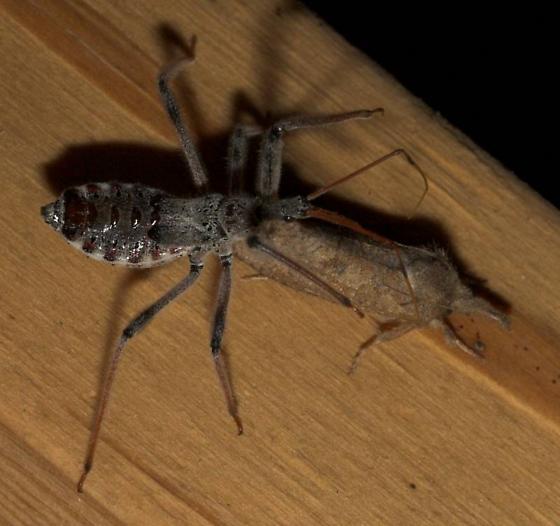 WB vs. Moth - Arilus cristatus