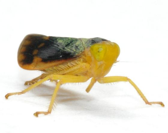 Coelidia olitoria - Jikradia melanota