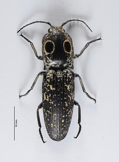 2nd Eyed-Clicker - Alaus - Alaus oculatus - male