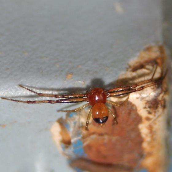 Black tail crab spider - Synema parvulum