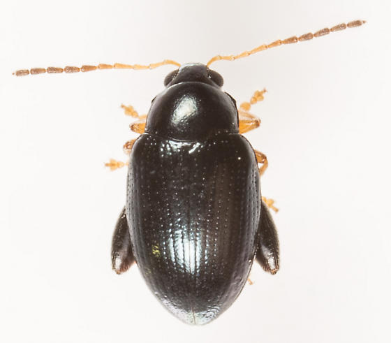 Beetle - Psylliodes - male