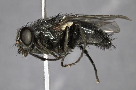 fly - Muscina pascuorum