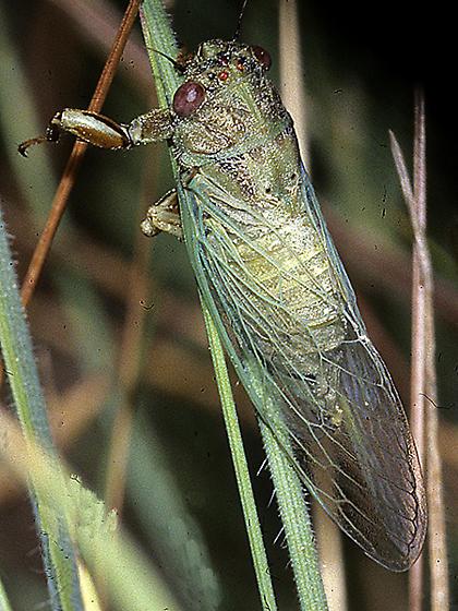 Cicadetta calliope possibly in grass - Cicadetta kansa