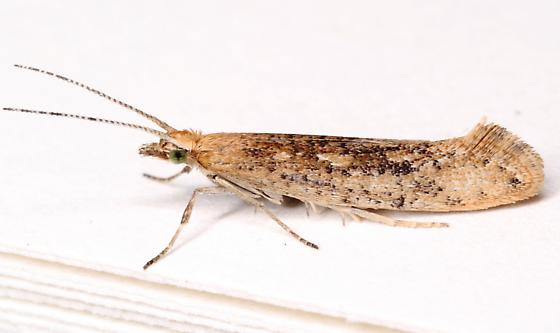 Diamondback moth moth? - Plutella xylostella