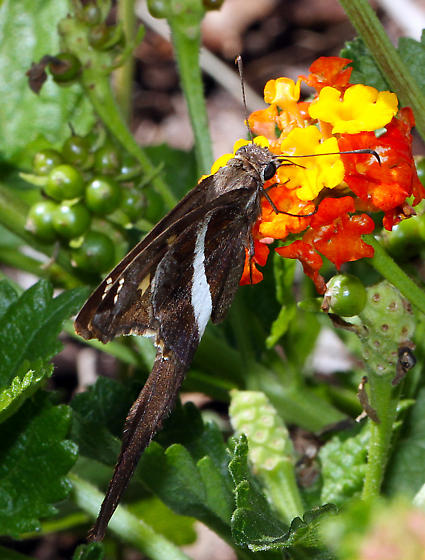 tailed Skipper - Chioides albofasciatus