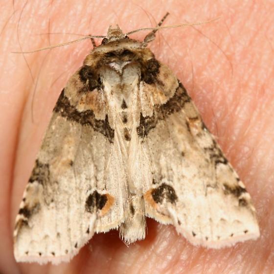 moth - Pseudothyatira cymatophoroides