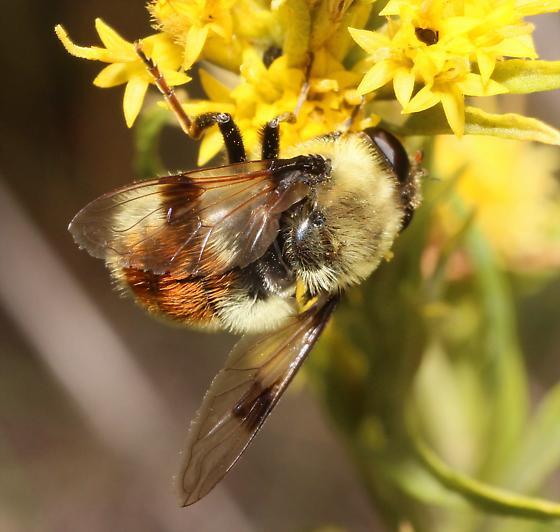 CO Bumble Bee - Sericomyia flagrans