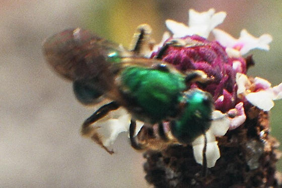Cuckoo Wasp - Augochlora pura