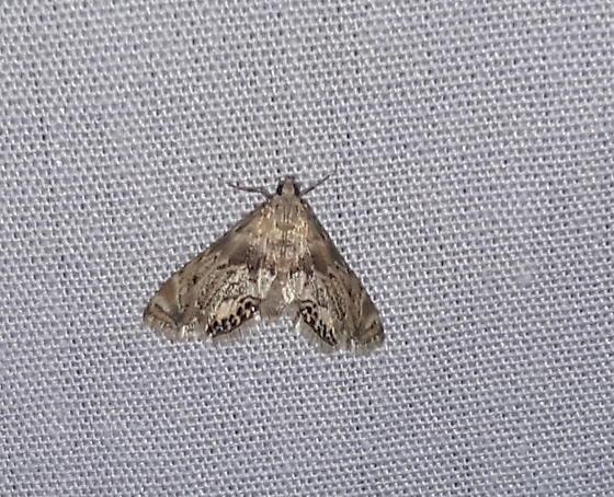 Feather-edged Petrophila - Hodges#4777 - Petrophila fulicalis