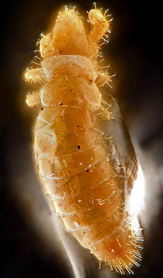 Proturan, dorsal - Hesperentomon macswaini