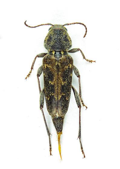 Cerambycinae? - Rusticoclytus nauticus - female