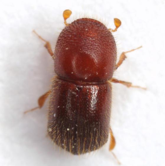 Xylosandrus crassiusculus (Motschulsky) - Xylosandrus crassiusculus