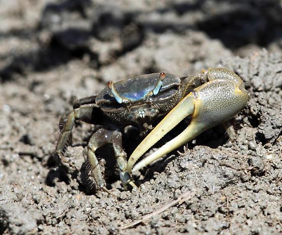 Atlantic Marsh Fiddler Crab - Uca pugnax