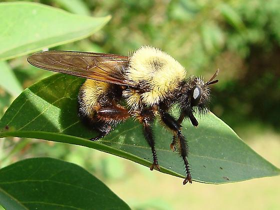 Robber Fly - Laphria thoracica - female