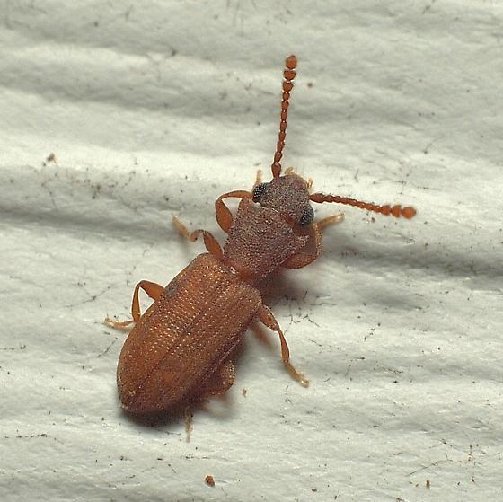 Unknown Beetle - Silvanoprus scuticollis