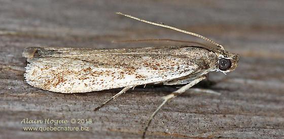 Gelechioidea ? - Phycitodes reliquellum