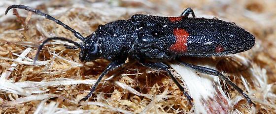Longhorn beetle - Zagymnus clerinus