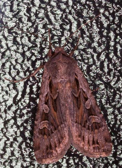 Medium size ? Noctuidae in cabin - Euxoa perexcellens