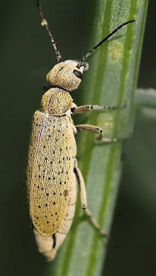 beetle, hairy, tan, black spots - Epicauta