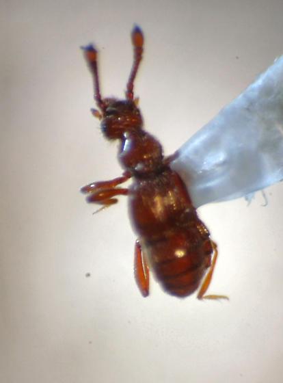 Pselaphinae  - Oropus striatus