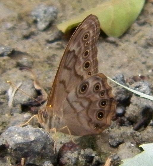 Creole Pearly-eye - Lethe creola - male
