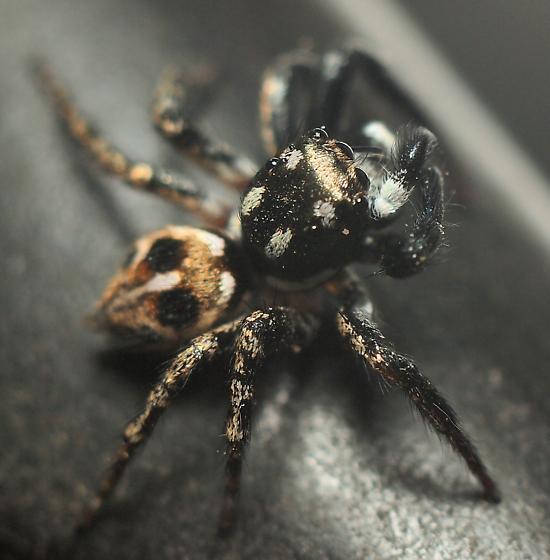 Anasaitis sp.? - Anasaitis canosa - female