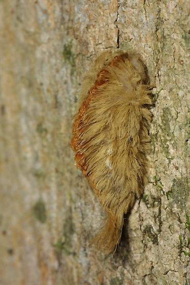 Puss Caterpillar - Megalopyge opercularis