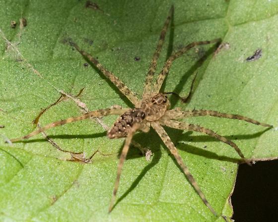 fishing spider – Dolomedes vittatus? - Dolomedes vittatus