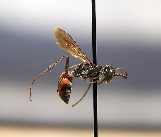 Ageniella longulus - Ageniella longula - female