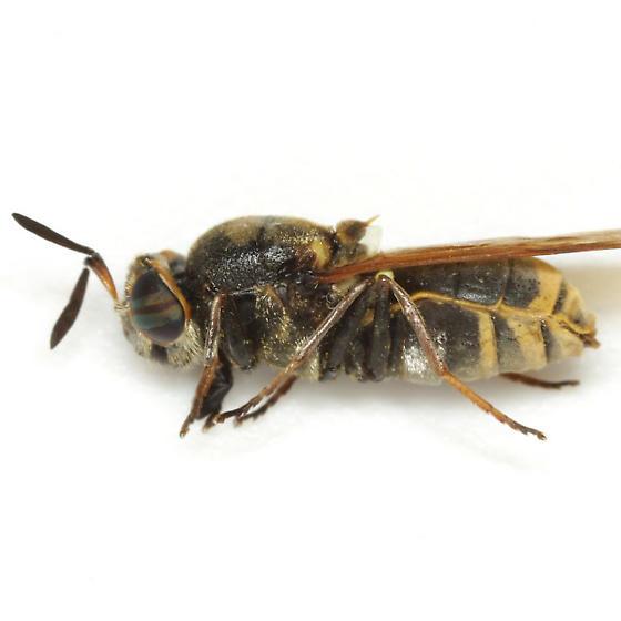 Hoplitimyia mutabilis (Fabricius) - Hoplitimyia mutabilis - female