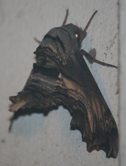 Sphingidae? - Sphecodina abbottii