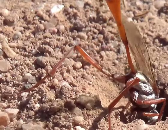Thread-waisted Wasp Burrowing - Ammophila - female