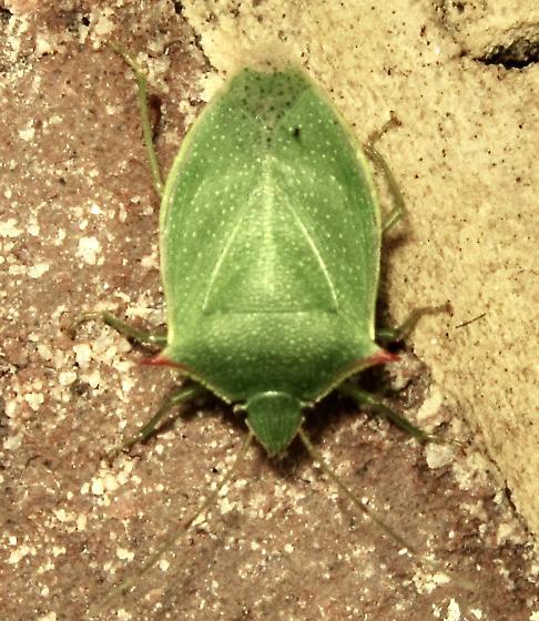 Spined Green Stink Bug (Loxa flavicollis) - Loxa flavicollis