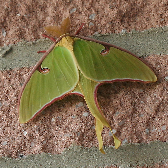 Luna Moth - a large green and pink moth - Actias luna - male