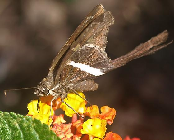 Long tailed skipper? - Chioides albofasciatus