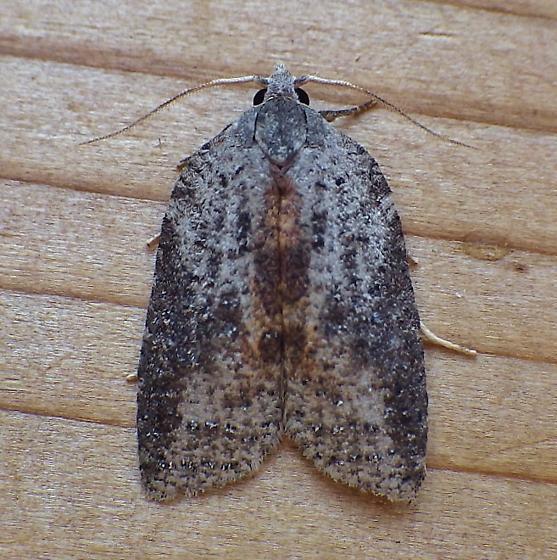 Tortricidae: Acleris - Amorbia humerosana