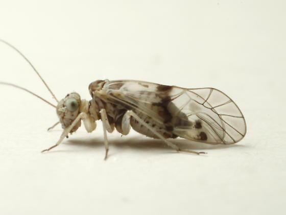 Indiopsocus lacteus Mockford & Young - Indiopsocus lacteus - female