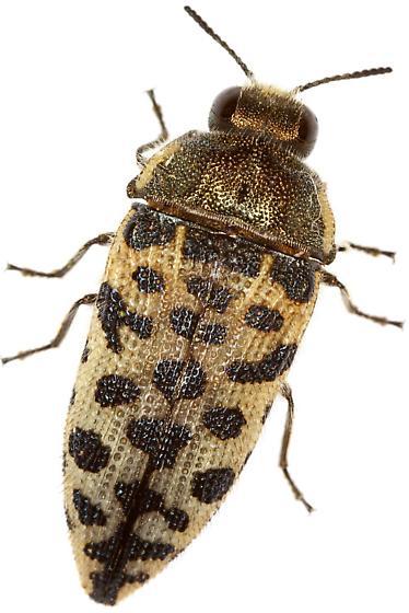 Acmaeodera maculifera? - Acmaeodera maculifera